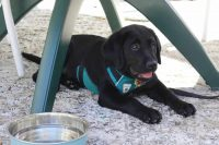 Barkley the Lab Puppy in Ridgway Garden